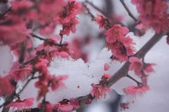 Japan Nature - Melting Snow and Ume Tree