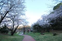 Sakura at Mitsuike Park