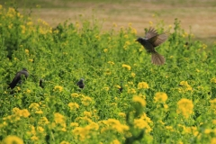 Flying on Canola Flowers