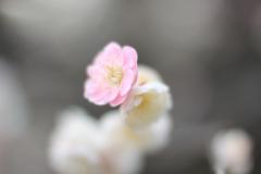 Gentle Ume Flowers