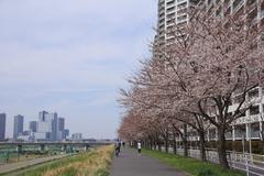 Sakura along Tama River