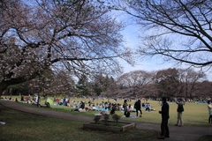 Sakura at Kinuta Park