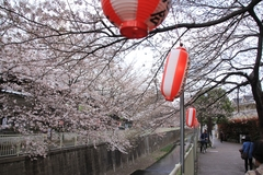 Sakura along Kanda River
