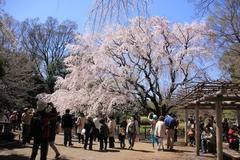 Sakura at Rikugien Gardens