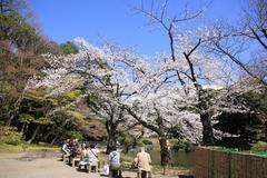 Sakura at Koishikawa Korakuen Gardens