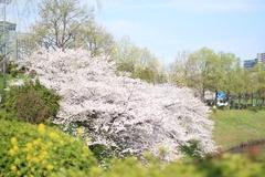 Sakura at Sakurada-no-Gou