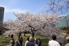 Sakura at Hamarikyu Gardens