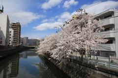 Sakura at Nomi River