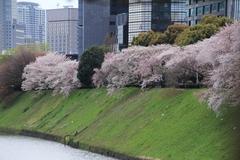 Sakura at Imperial Palace Outer Garden