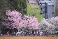 Sakura at Ueno Onshi Park