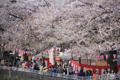 Sakura along Sumida River