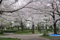 Sakura at Higashiayase Park