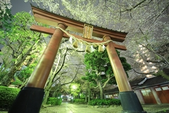 Sakura at Kamata Hachiman Shrine