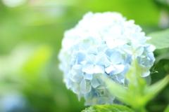 Bright Hydrangea
