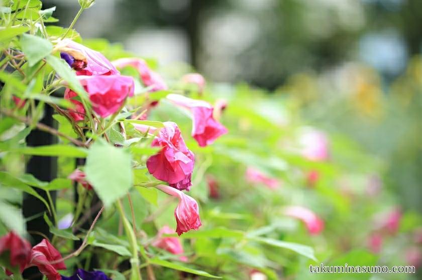 pink_flower_morning_glory