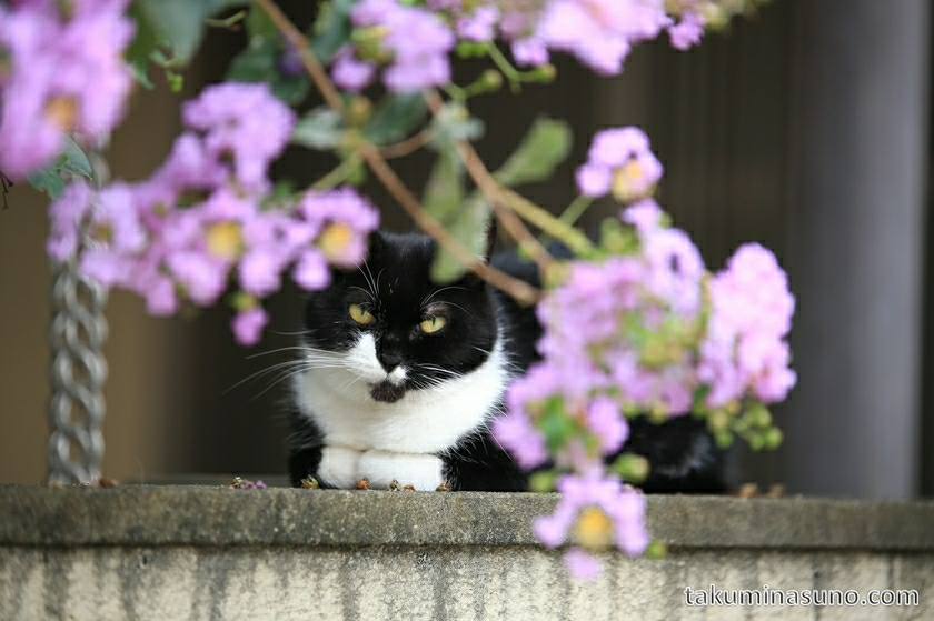 shinjuku_white_black_cat_02