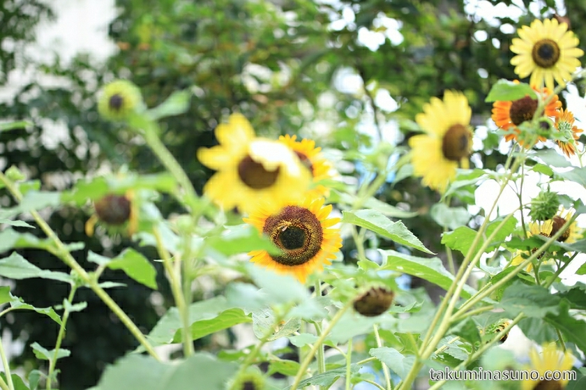 yellow_flower_sunflower