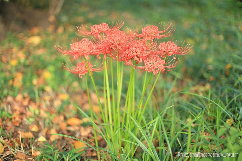 A group of Lycoris radiata along Tama River