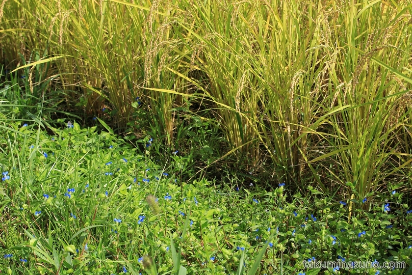 Asiatic Dayflower Grow Together with Rice Plants