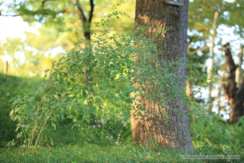 Bush clover in Tamagawadai Park