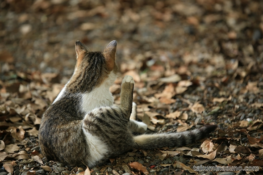 Cat in Yoyogi Hachiman Shrine 01