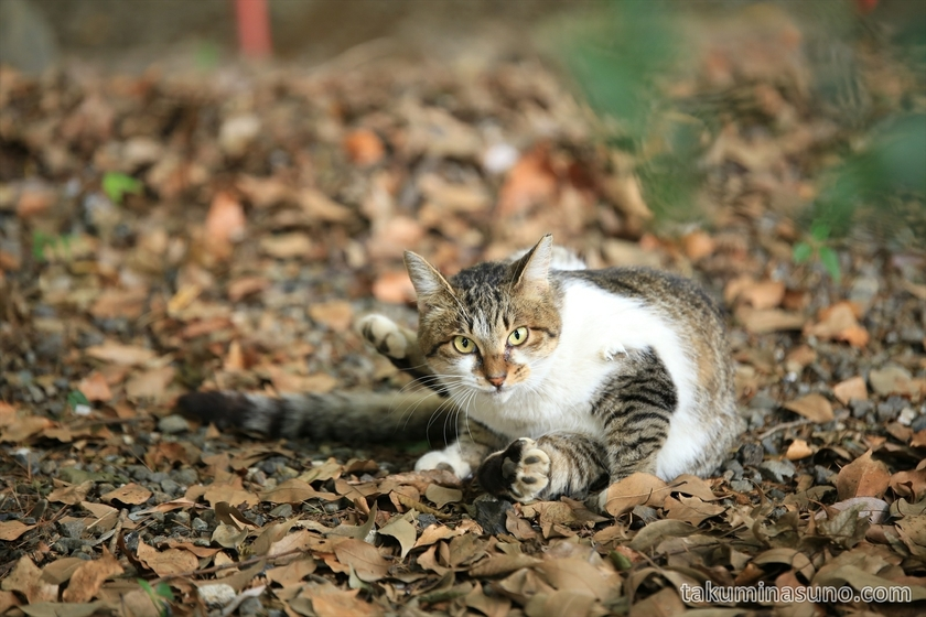 Cat in Yoyogi Hachiman Shrine 02