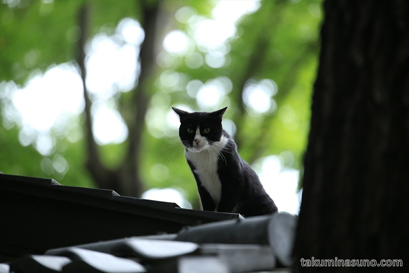 Cat on the Roof in Yoyogi Hachiman Shrine