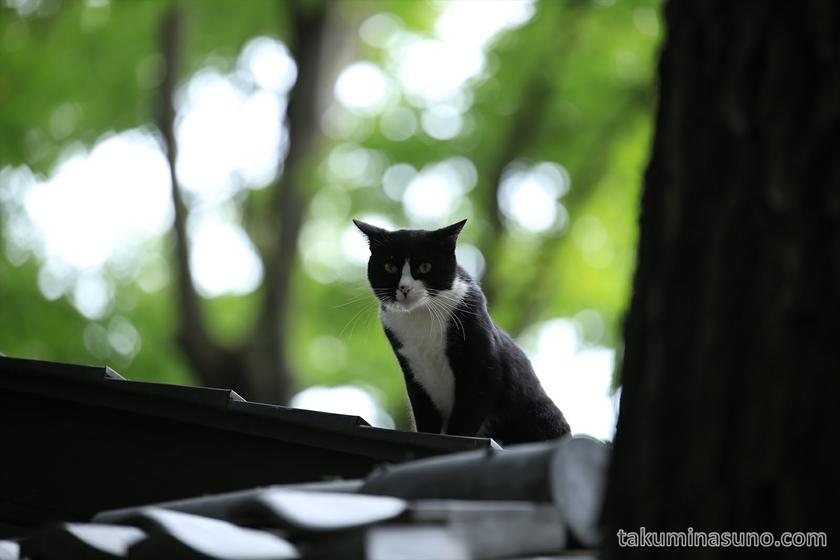 Cat on the Roof in Yoyogi Hachiman Shrine