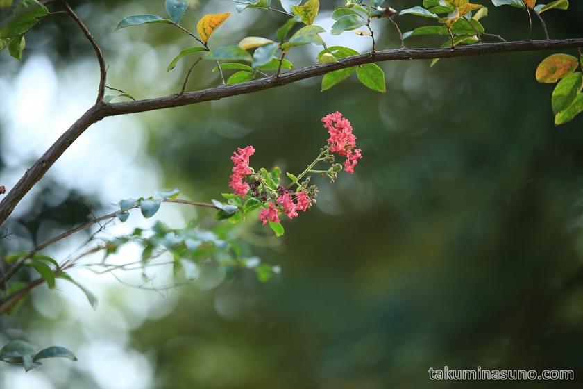 Crape myrtle at Tamagawasai Park
