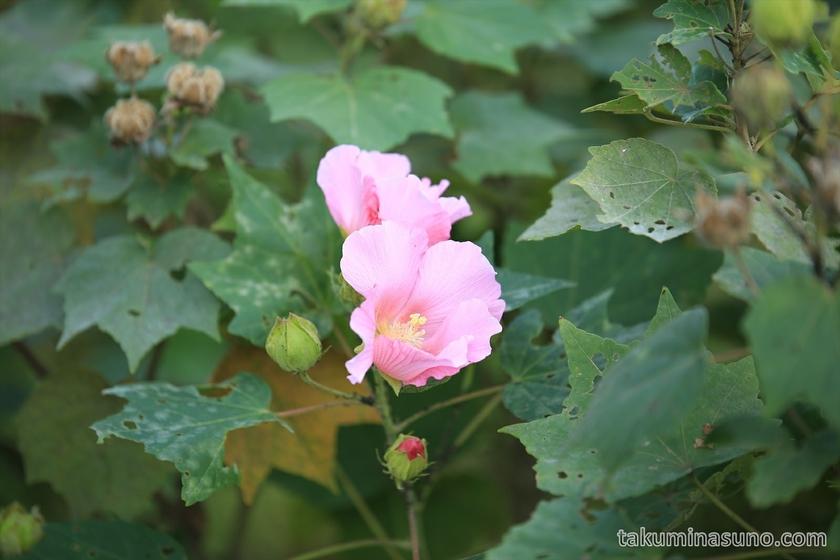 Hibiscus mutabilis at Tamagawadai Park