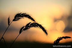 I photographed Sunset from Rice Field in Niigata