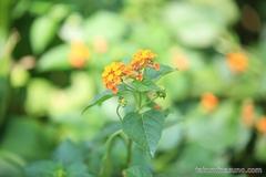Lantana Camara in Orange