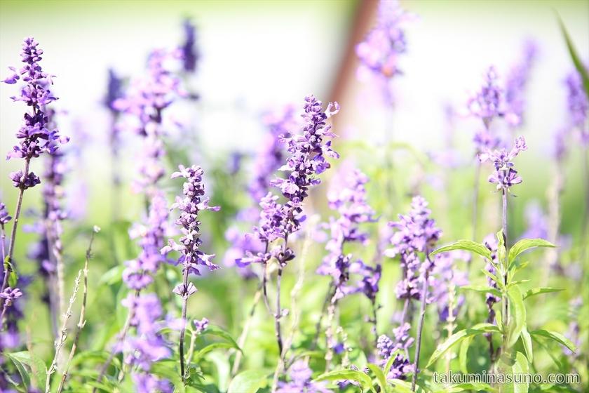 Lavender in Flower Bed in Sado Island