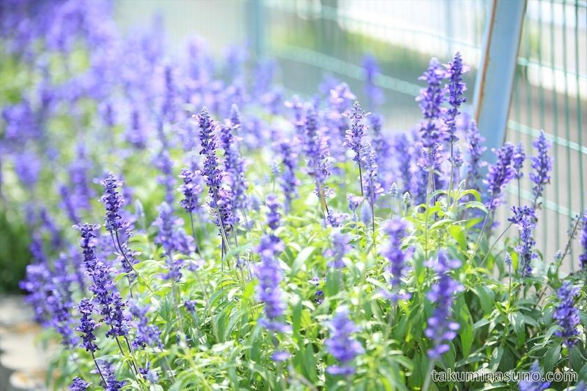 Lavender in Sagamihara
