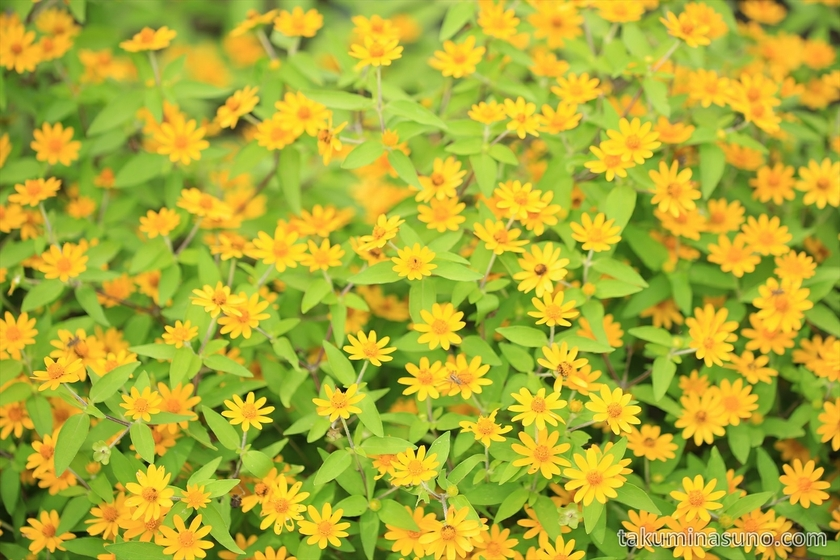 Lemon Marigold in Niigata