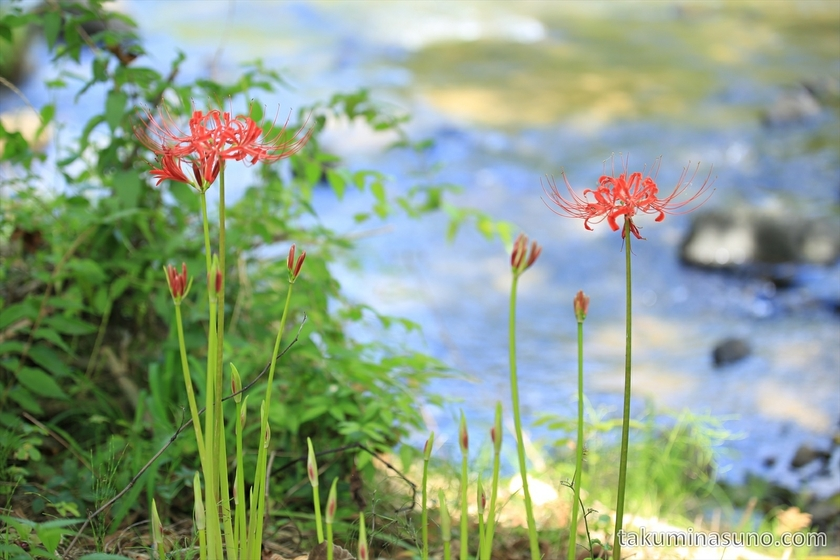 Lycoris Radiata in Sado Island