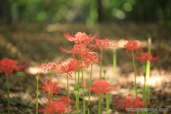 Lycoris Radiata Blooms in Shinjuku Central Park