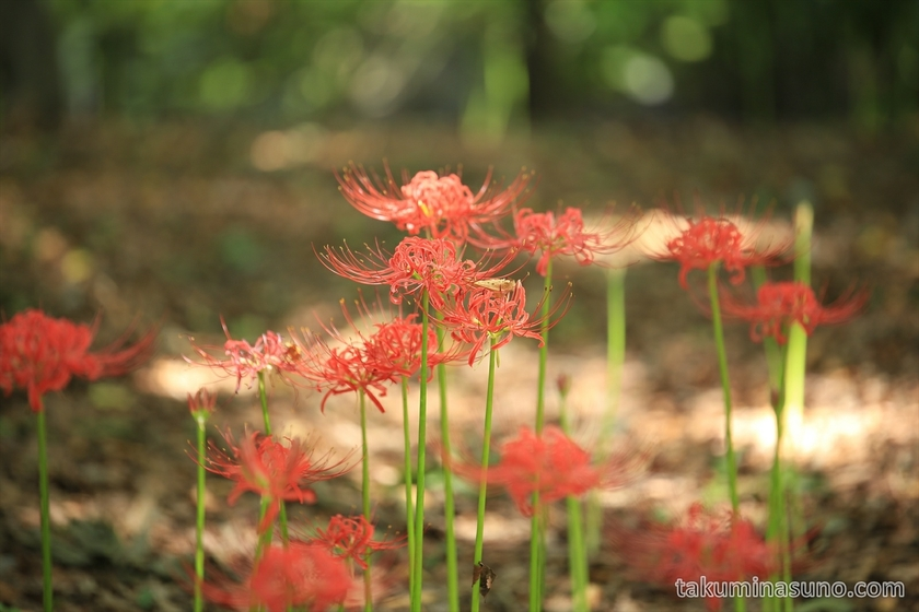 Lycoris Radiata in Shinjuku Central Park