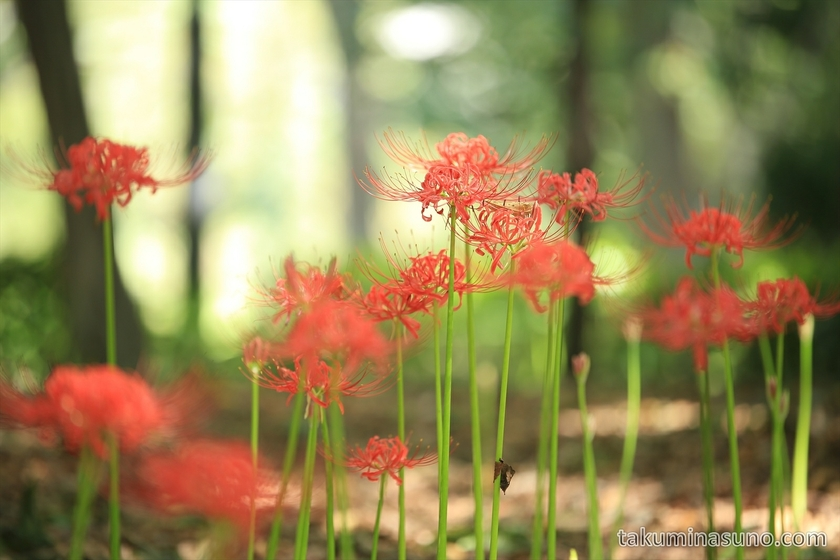 Lycoris Radiata in Shinjuku Central Park from Lower Angle