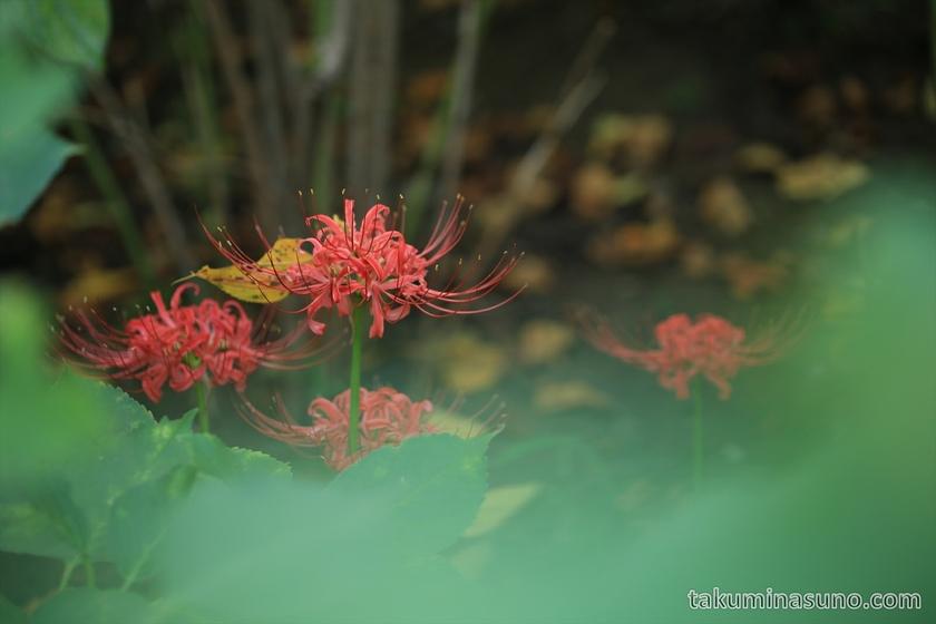 Lycoris radiata in the shade in Tamagawadai Park