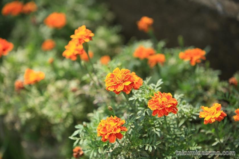 Marigold in Sagamihara