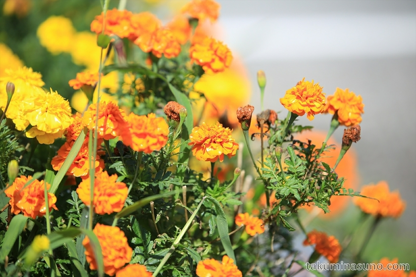 Orange Marigold in Flower Bed in Sado Island