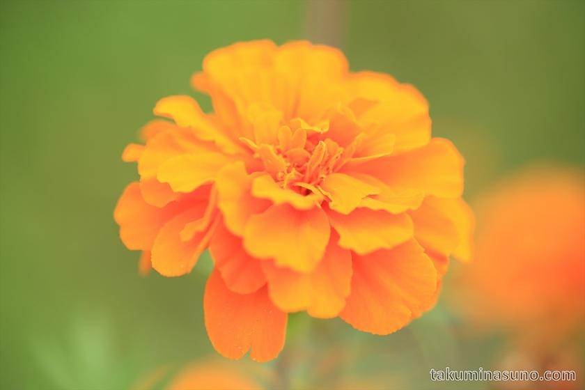 Orange Marigold in Niigata