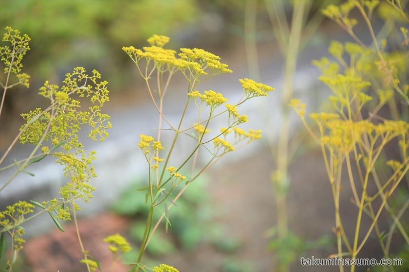 Patrinia scabiosifolia at Tamagawadai Park