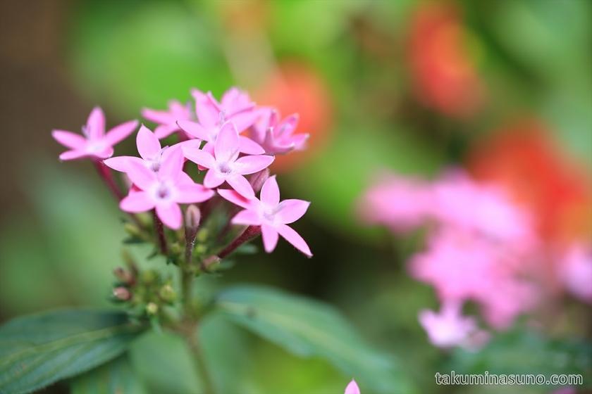 Pink Pentas lanceolata in Shinjuku Central Park