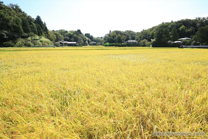 Rice Field Spreading throughout My Eyesight