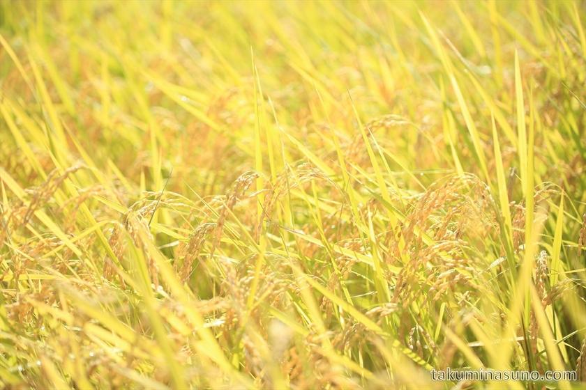 Rice Plants in Sado Island