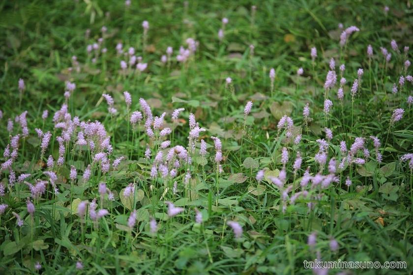 Scilla scilloides at Tamagawadai Park