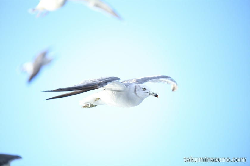 Seagull above the Sea of Japan 01