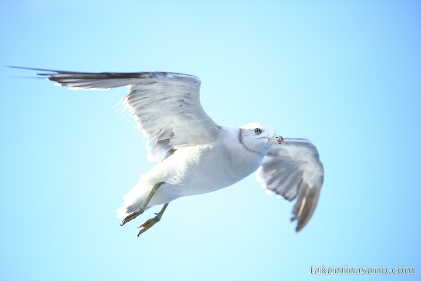 Seagull above the Sea of Japan 02